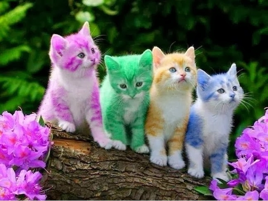 calico cats always female